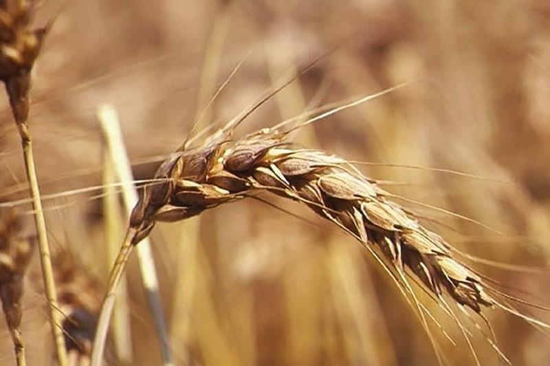 crusca di grano tenero
