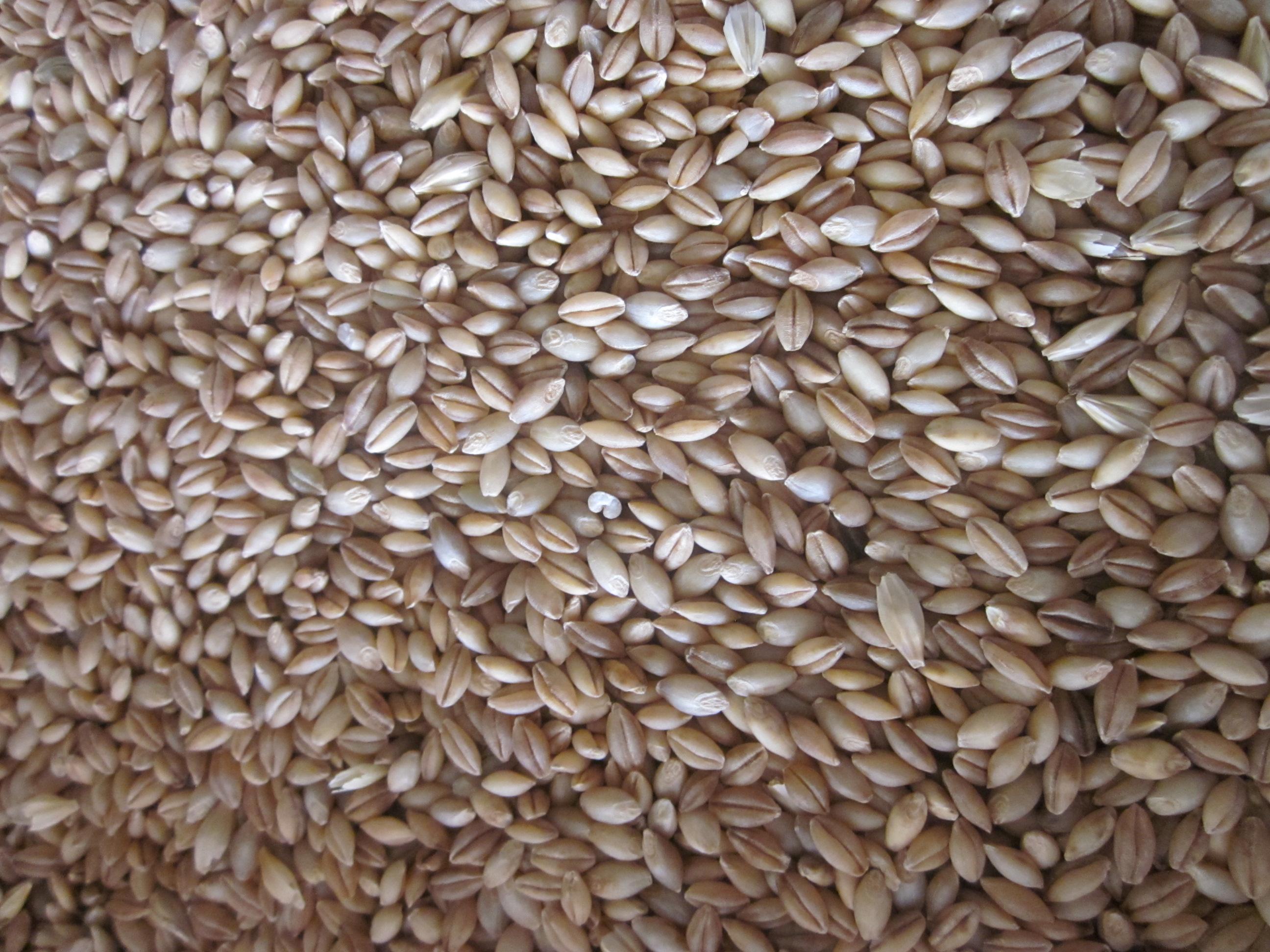 orzo mondo azienda agricola le barbarighe san martino di venezze rovigo cereali biologici