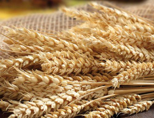 I cereali biologici sono importanti nella dieta