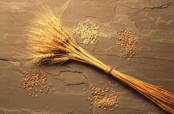 cereali azienda agricola le barbarighe
